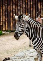 zebra in dierentuin foto