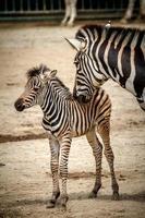 zebra's in dierentuin foto