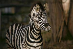 portret van zebra foto