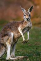 portret van kangoeroe foto