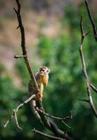 gemeenschappelijke eekhoornaap foto