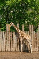 giraf in de natuur foto