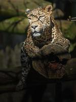 Sri Lankaanse luipaard foto