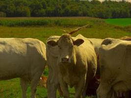 een bruine koe met een trekje. foto