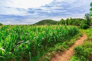 groen maïsveld in landbouwtuin foto