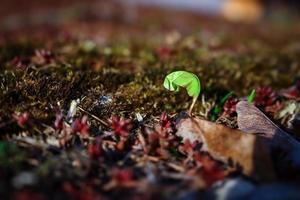 esdoorn lente die tevoorschijn komt uit bruine droge bladeren en rode vetplanten foto