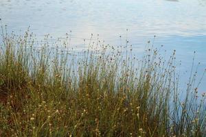 hoog gras met gele bloemen die groeien op de oever van het meer met luchtreflectie op waterachtergrond foto