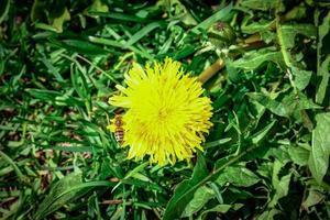 één gele paardebloem op dichte groene bladerenachtergrond foto