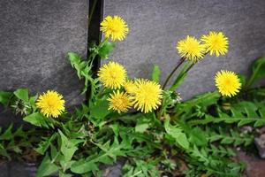 gele paardebloemen met groene bladeren die in de buurt van de muur groeien foto