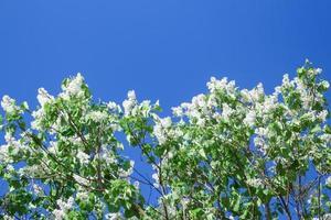 witte bloeiende seringen op blauwe hemelachtergrond op zonnige lentedag foto
