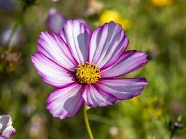 roze en witte kosmos bloemvariëteit snoepstreep foto