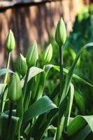 gesloten groene tulpenknoppen en lange bladeren foto