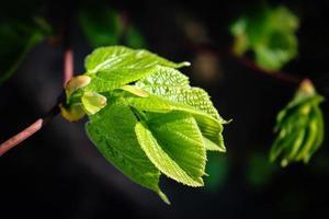 Jonge verse, sappige lindebladeren in zonlicht geïsoleerd op zwart foto