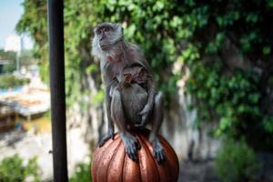 aap met baby bij batu caves kuala lumpur foto