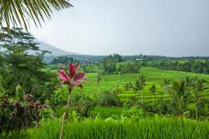 de tegallalang rijstterrassen in Bali in Indonesië in foto