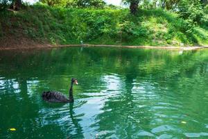 een zwarte zwaan op een meer in tainan in taiwan foto