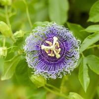 close-up van paarse bloem bloeit foto