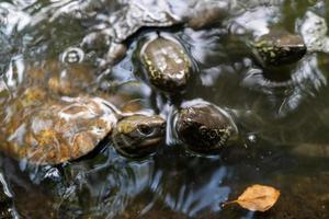 kleine zeeschildpadden in nagoya foto