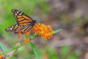 monarchvlinder neergestreken op oranje bloemen van vlinderonkruid in de tuin foto
