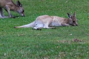 oostelijke grijze kangoeroe macropus giganteus zonneschijn kust queensland australië foto
