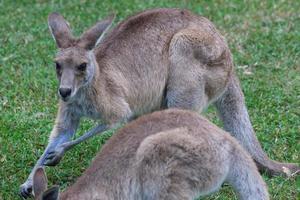 oostelijke grijze kangoeroe macropus giganteus zonneschijn kust universiteitscampus queensland australië foto