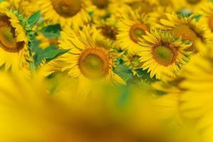 bloeiende zonnebloemen natuurlijke achtergrond foto