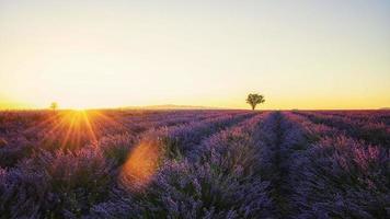 lavendelveld in provence, frankrijk foto