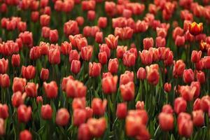 velden waarop roze tulpen bloeien. tulpen veld. veld met roze tulpen. boeket bloemen, roze achtergrond. foto