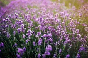 zee van lavendel bloemen gericht op een op de voorgrond. lavendelveld foto
