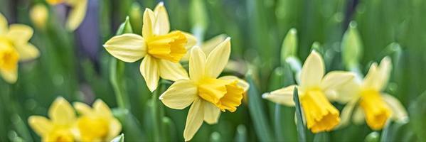achtergrond van gele narcissen in de tuin. voorjaar. bloeiende bloemen. banier foto
