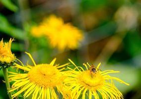 honingbij op een gele bloem. geschikt als natuurachtergrond foto