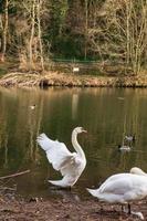twee cygnus orol zwanen en zwemmende eenden in rivierkleding in durham, uk foto