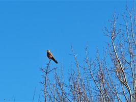 torenvalk neergestreken op een kale wintertak met een blauwe lucht foto