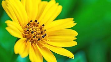 verse madeliefjebloem die in de achtergrond van de tuintextuur groeit foto