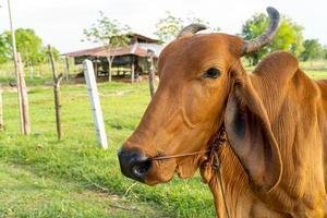 close-up van een bruine koe in de wei selectieve focus soft focus foto