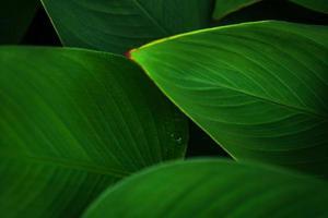 verlaat groen donker blad op de natuurlijke tropische bosachtergrond foto