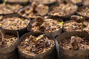 cacaobomen groeien nieuw op de boerderij foto