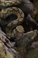 boa portret boa constrictor slang op boomtak foto