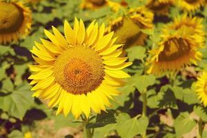 jonge frisse mooie felgele zonnebloem foto