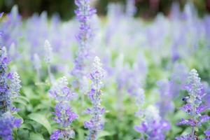 paarse bloem in de tuin. foto
