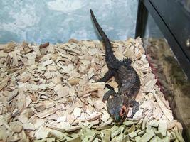kleine shinco-krokodil fokken in zijn vitrine foto
