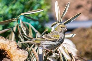 kanarievogel poseerde om voedsel te zoeken foto