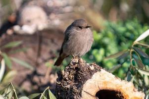 een roodstaartvogel die op een boomstam zit foto
