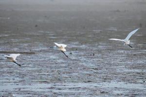 witte zilverreigervogel op het meer foto