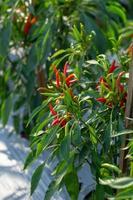 rijpe rode en groene chili op een boom groene pepers groeien in de tuin foto