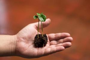 afbeelding van mannelijke handen die jonge plant verplanten foto