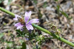 bij op mauve bloem in de zon foto
