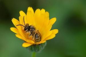 bij op een gele bloem in de lente foto