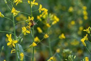 bij op bloem van groente foto