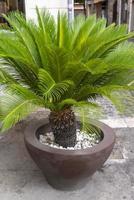 kleine palmboom op een vaas als display foto